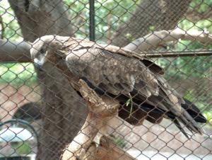 lahore zoo eagle