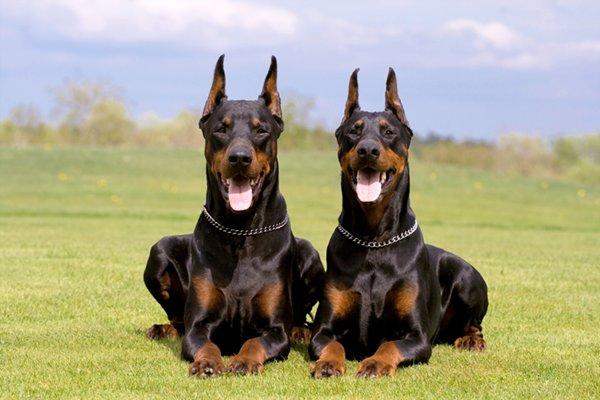 10 Most Expensive Dog Breeds In Pakistan - Doberman Pinscher
