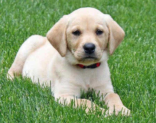 10 Most Expensive Dog Breeds In Pakistan - Labrador Retriever