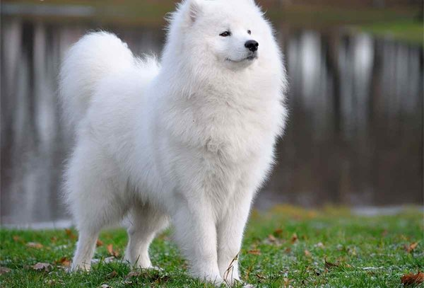 10 Most Expensive Dog Breeds In Pakistan - Samoyed