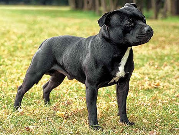 10 Most Expensive Dog Breeds In Pakistan - Staffordshire Bull Terrier