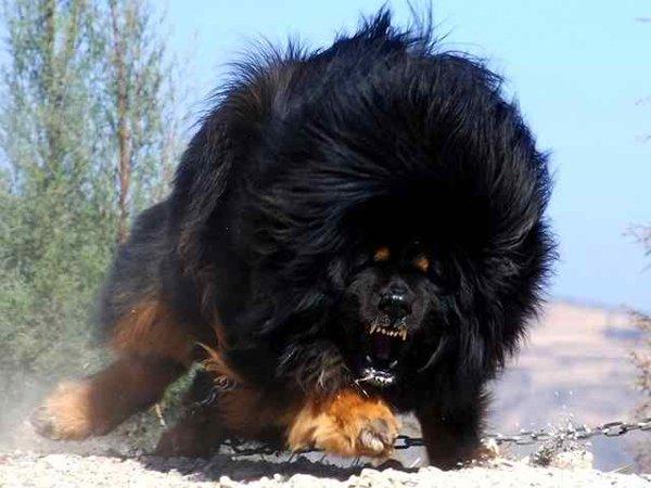 10 Most Expensive Dog Breeds In Pakistan - Tibetan Mastiff