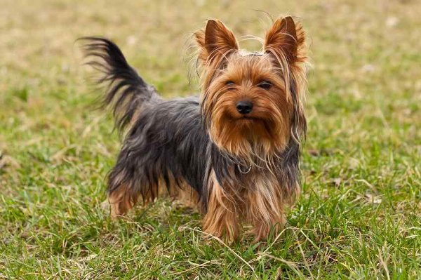 10 Most Expensive Dog Breeds In Pakistan - Yorkshire Terrier