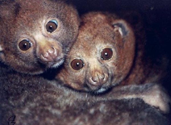 10-bizarre-animals-you-need-to-know-right-now-potto