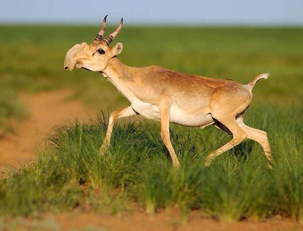 10-bizarre-animals-you-need-to-know-right-now-the-saiga-antelope