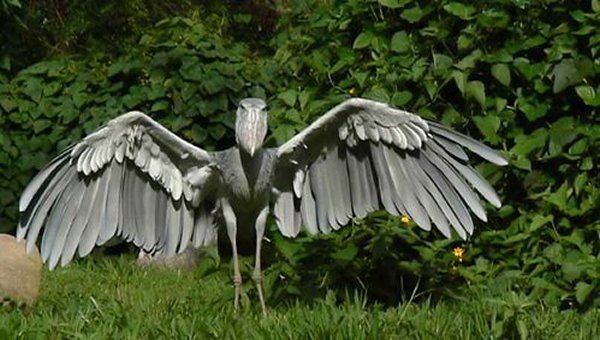 10-bizarre-animals-you-need-to-know-right-now-the-shoebill-bird