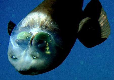 10 Beautiful Ocean Creatures In The World-Barreleye