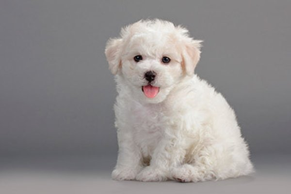 Top 10 Cutest Puppies In The World-Bichon Frisé