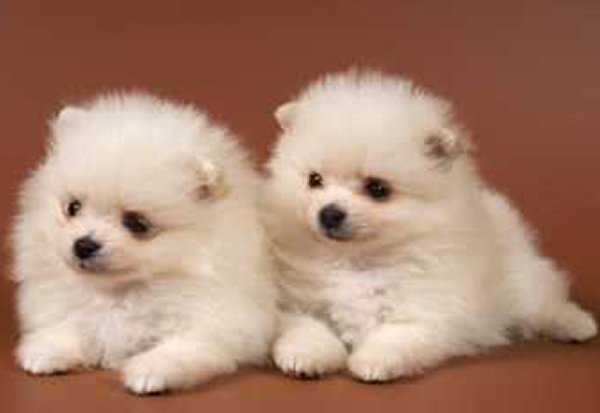 Top 10 Cutest Puppies In The World-Pomeranian