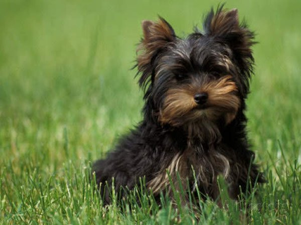 Top 10 Cutest Puppies In The World-Yorkshire Terrier