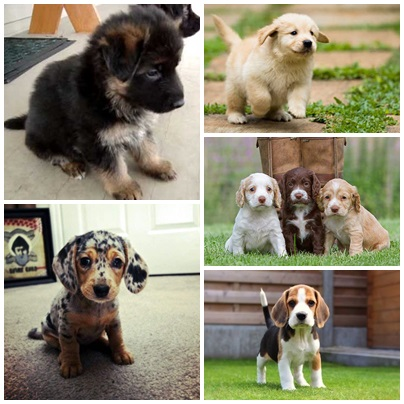 Top 10 Cutest Puppies In The World
